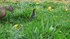 Mummy & Baby Duck