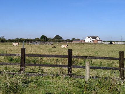 Cows & Calves (Near Calf Heath!)
