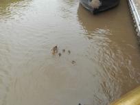 Dopey Ducks