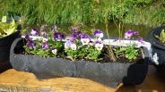 Pansies where I planted Corriander???