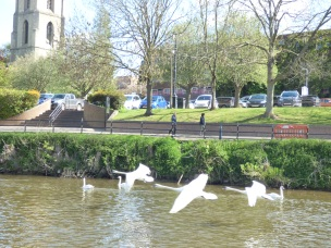 Swans captured in flight